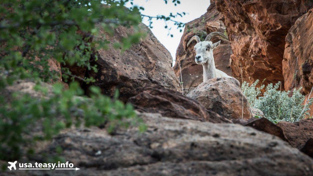 Wer sich genau umschaut, kann Wüsten-Dickhornschafe entdecken im Overlook Trail